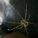 Juvenile Golden Orb Weaver by Gryphonn