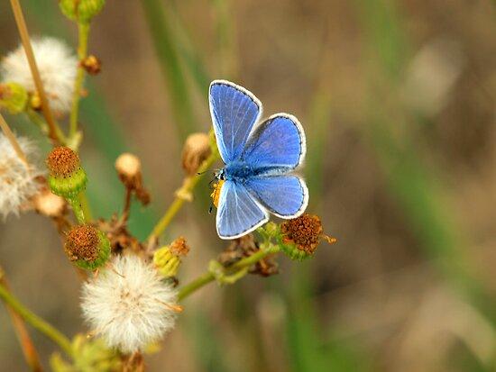 Male Common Blue (Polyommatis icarus) by saxonfenken