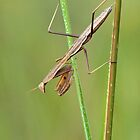 Praying Mantis by Robert Kelch, M.D.