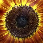 The sunflower (Helianthus annuus) by Jorge's Photography