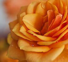 Peach Rose by Elaine123