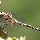 Dragonfly by DutchLumix
