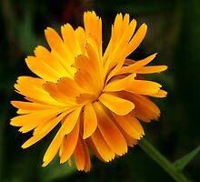Marigold  by Susie Peek
