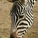 Grazing Zebra by FaithAmor
