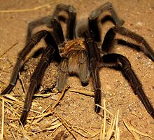 Arizona/Mexican Blonde Tarantula by Kimberly Chadwick