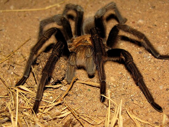 Arizona/Mexican Blonde Tarantula by Kimberly P-Chadwick