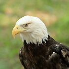 American Eagle by ZeeZeeshots
