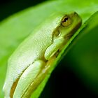 Dwarf green tree frog (Litoria bicolor) by Johan Larson
