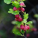 Gooseberries by Bluesrose