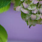 purple hydrangea by allisondegeorge