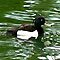 Tufted Duck (Aythya Fuligula) by Trevor Kersley