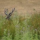 Sika Deer in the Grass by MendipBlue
