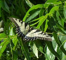 Tiger Swallowtail story by Navigator