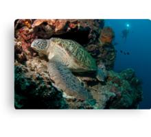Green Turtle, Bunaken National Marine Park, Indonesia Canvas Print
