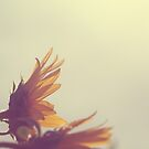 Sunflowers In The Sun by ameliakayphotog