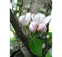 Spring Crabapple Blossoms Photographic Print
