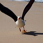 Pacific Gull, Little Oberon Bay, Wilsons Promontory National Park by Imagebydg