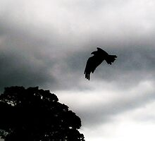 Black Kite by Ladymoose