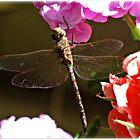 ~ Dragonfly 1 ~  by Brenda Boisvert