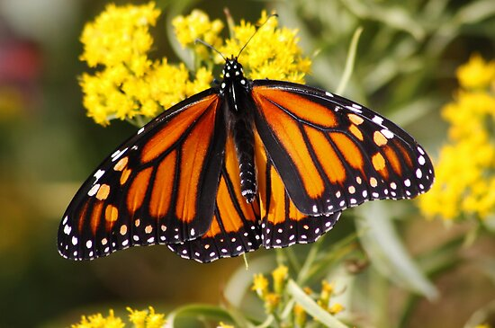 Monarch Butterfly (Female) by AnnDixon