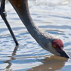 Mature Sandhill Crane Enjoying a Refreshing Drink by David Friederich