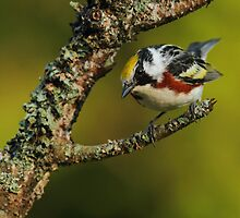 Chestnut-sided Warbler by Bill McMullen