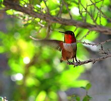 Rufous Hummingbird by Sherry Pundt