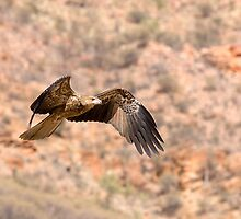 Black Kite. by trevorb