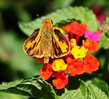 Skipper Butterfly by AnnDixon