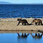 Bear stroll along Yellowstone Lake by Tom Aguero