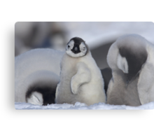 Half Asleep Emperor Penguin Chick - Snow Hill Island  Metal Print