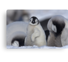 Half Asleep Emperor Penguin Chick - Snow Hill Island  Canvas Print