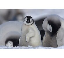 Half Asleep Emperor Penguin Chick - Snow Hill Island  Photographic Print