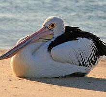 Pelican Resting by BarkingGecko