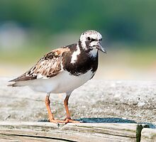 Ruddy Turnstone by imagetj