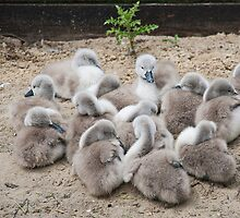 Cygnets  by Elaine123