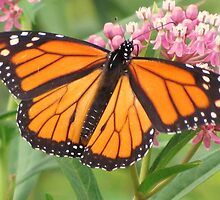 Is It A Monarch-y?! by lorilee