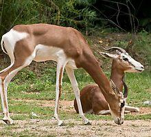Mhorr Gazelle by Tracey  Dryka