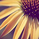 Yellow Rays  by ameliakayphotog