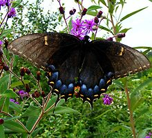 Tiger Swallowtail (Black form) by shimschoot