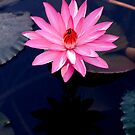 Just One - pink waterlilly by Jenny Dean