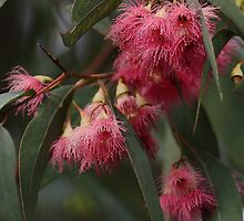 Red Flowering Gum by yolanda