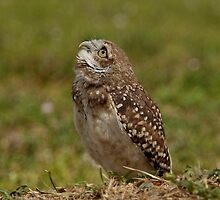 Burrowing Owl by Gail Falcon