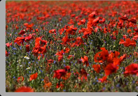 The Poppy Fields by Lynne Morris