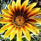 Gaillardia - my garden by EdsMum