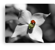 Ladybug On Dogwood Flower In Black And White Partial Color Canvas Print