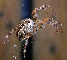 Spider on my walk by Bluesrose