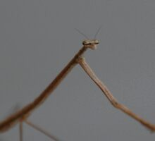 Phasmatodea (Walking Stick) II by zpawpaw