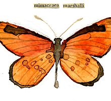 Mimacraea marshalli (Marshall's False Monarch) by Carol Kroll