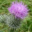 A Scottish Thistle. by Colin Metcalf